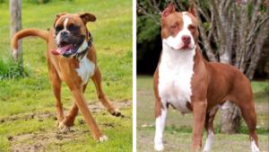 Doi câini apropiați ca aspect, dar foarte diferiți: Boxerul și Pitbullul
