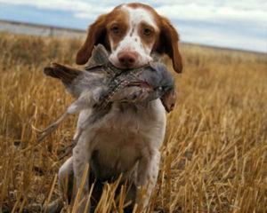 Acest câine de rasa Brittany aduce pasărea vânătorului