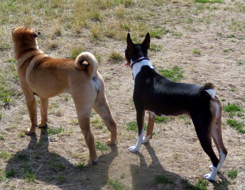 Doi câini ce au cozile curbate in parcul de joacă