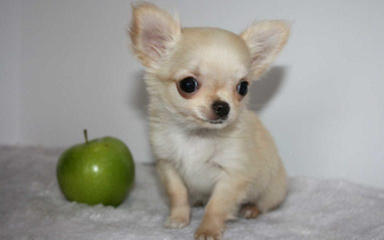 Forma capului unui Chihuahua este apropiată de cea a unui măr