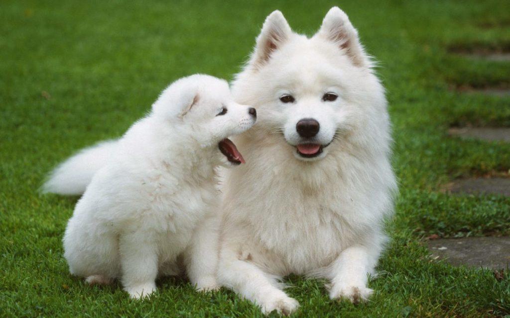 Pui de Samoyed alături de mama acestuia