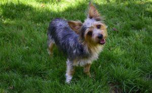 Metis Yorkshire-Chihuahua pe un câmp înverzit