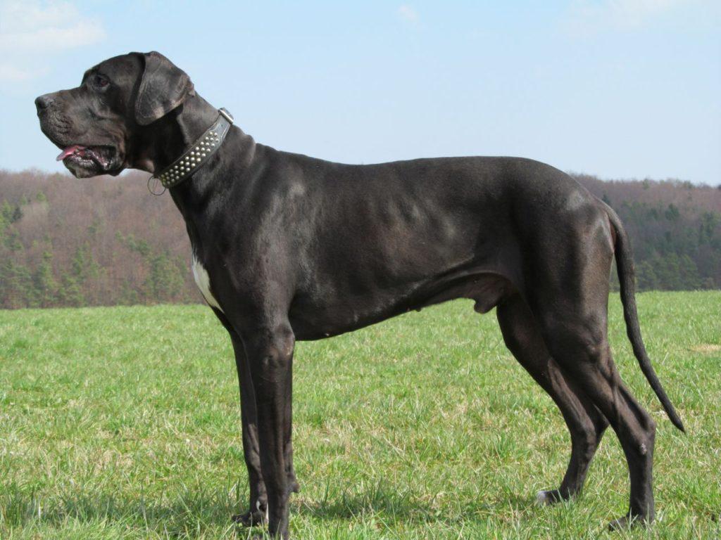 Corpul puternic al unui Dog german