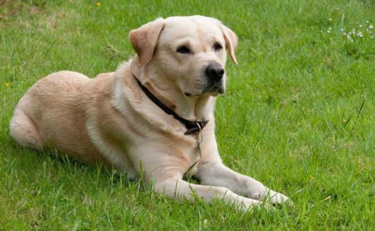 Goldador sau metisul Golden Retriever-Labrador odihnindu-se în curte