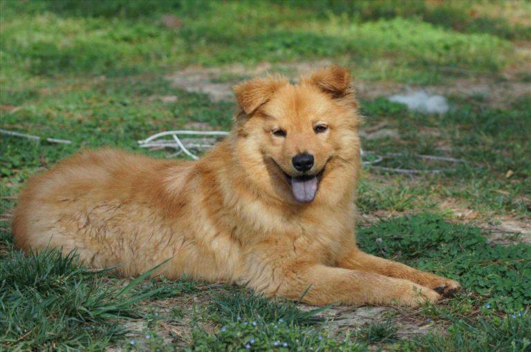Metis Golden Retriever-Chow-Chow odhinindu-se pe câmp
