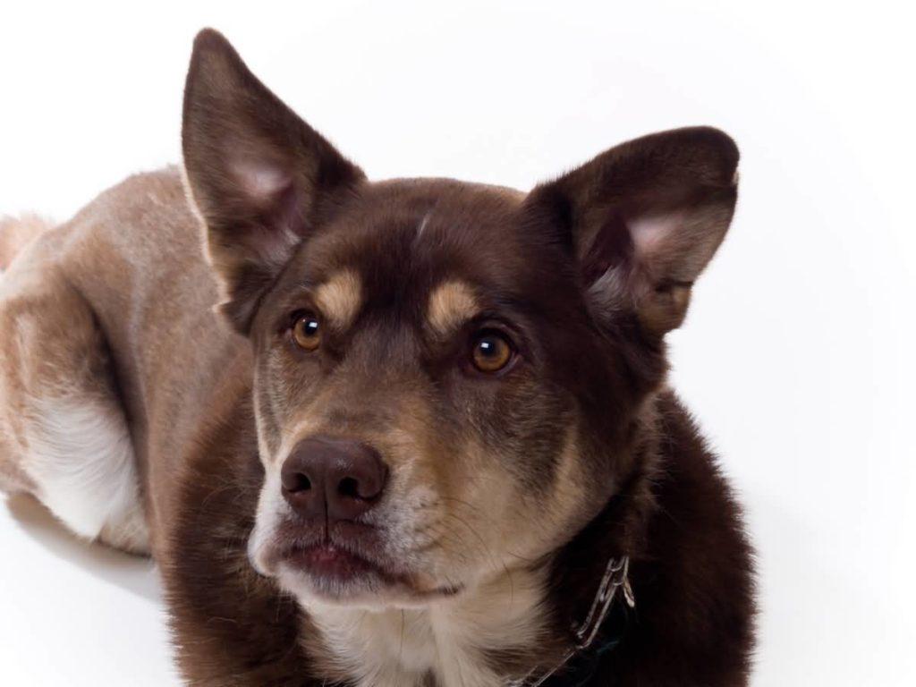 Metis Husky-Labrador sau Labrador Siberian cu o blană inedită