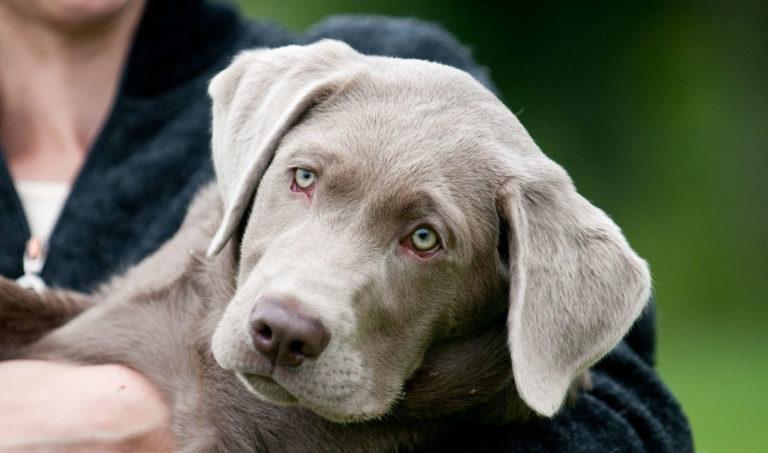 Labrador argintiu în brațele stăpânului