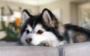 Pomsky sau metisul Pomeranian-Husky așteptând cu capul pe canapea