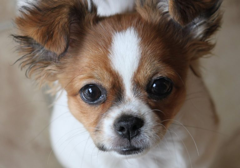 Metisul Shih-Tzu-Chihuahua și chipul său adorabil