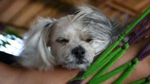 Metis Shih-Tzu Pomeranian deranjat de vânt