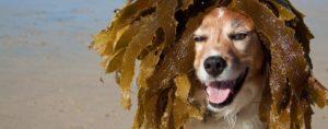 Câine găsind pe plajă niște alge marine