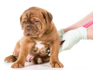 Pui susținând un control la veterinar
