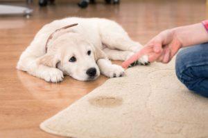 Câine mustrat de stăpân pentru că a urinat pe covor