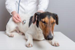 Câine cu insuficiență renală în vizită la veterinar