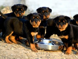 Grup de pui de Rottweiler