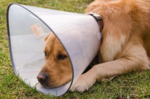 Câine cu guler de protecție atașat în jurul gâtului pentru a evita scărpinatul