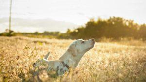 Câine într-un lan de grâu