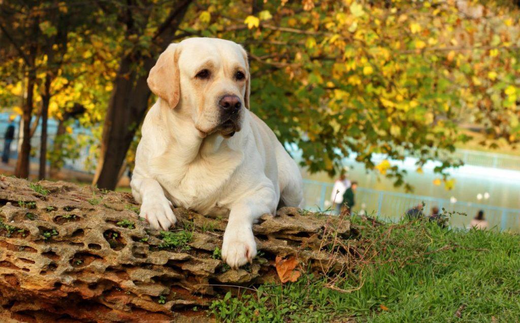 Labrador în pădure, gata de vânătoare