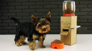 Yorkshireul Terrier lângă mâncarea sa
