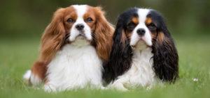 Doi Cavalier King Charles adorabili poposind pe un câmp înverzit.