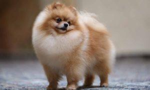 Pomeranian privind cu drag către stăpân