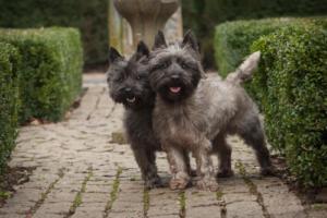Doi Terrieri Cairn cenușii, plimbându-se printre tufișuri