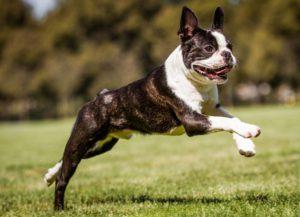 Terrier Boston surprins în alergare la iarbă verde