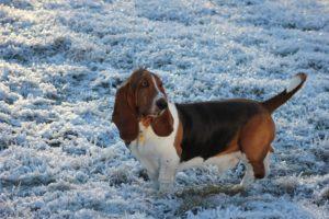 Basset Hound la plimbare pe timp de iarnă