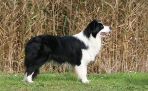 Profilul unui Border Collie cu blană bicoloră