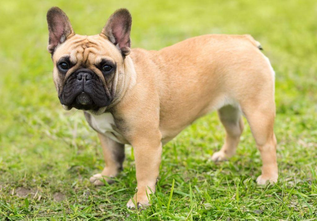 Bulldog francez la joacă pe un câmp înverzit
