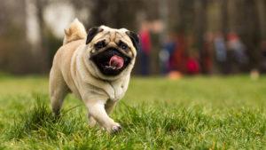 Pug/Mops la plimbare pe un câmp înverzit