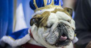 Bulldog englez încoronat câștigătorul unui concurs de frumusețe canină