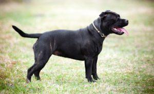 Bull Terrier Staffordshire așteptând următoarea comandă a stăpânului