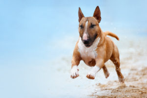 Bull Terrier surprins în alergare pe plajă