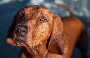 Coonhound maroniu gata de joacă