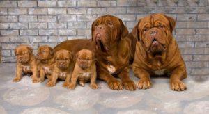 O familie de Dogi de Bordeaux: mama, tatăl și cei patru pui