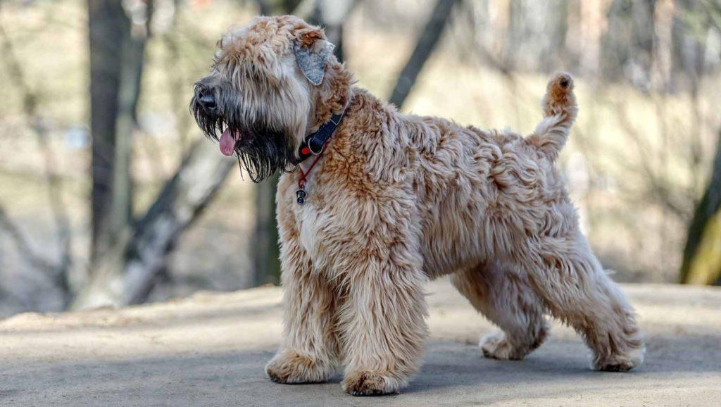 Terrier Whaten la o plimbare în lesă alături de stăpân