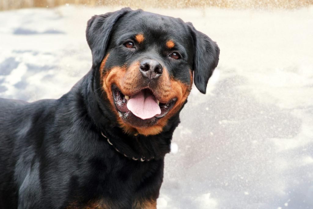 Privirea blândă a acestui Rottweiler este cuceritoare
