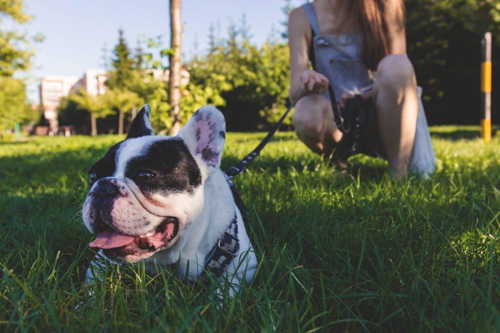 Bulldog francez scos la plimbare în parc cu o lesă din piele