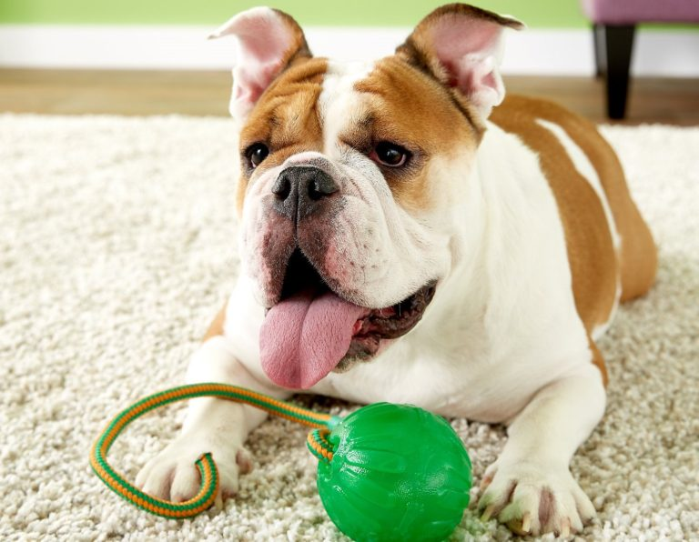 Bulldog alături jucăria rezistentă Starmark Everlasting Fun Ball On a Rope
