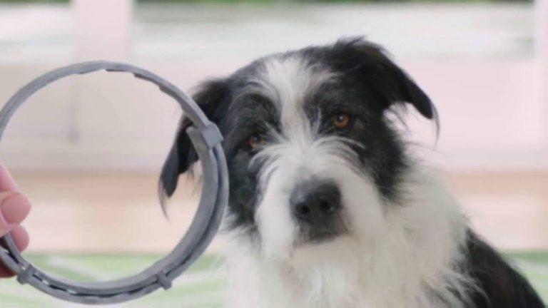Câinele așteaptă ca stăpânul să-i pună zgarda antiparazitară
