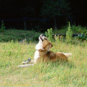 Câine atacat de un roi de muște