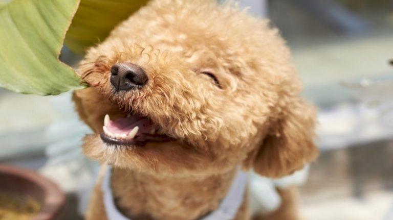 Câine etalându-și dentiția sănătoasă