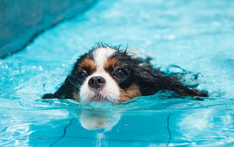Stăpânul Acestui Pechinez va scoate apa din urechile câinelui după înot
