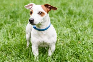 Câine Jack Russell Terrier ce poartă o zgardă antiparazitară