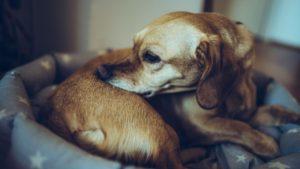 Câine mușcându-se din cauza dermatitei alergice apărută în urma mușcăturilor de purici