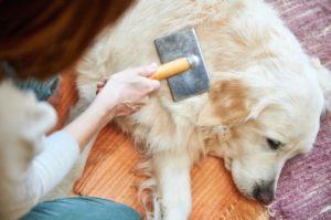 Un Labrador îngrijit de stăpâna sa