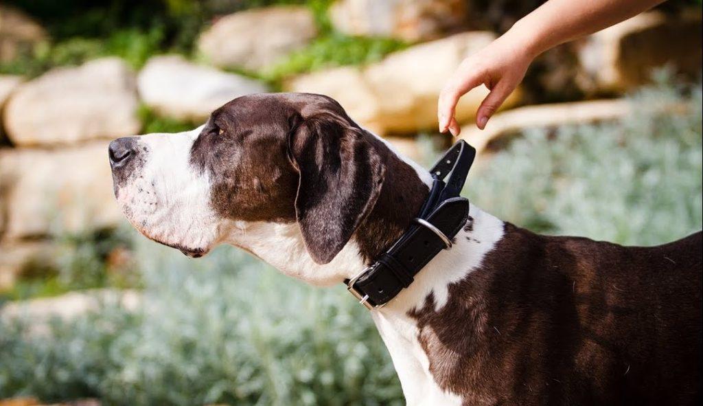 Acest câine poartă zgarda de piele Julius K9 cusută manual, cu mâner,
