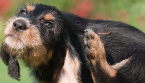 Câine scărpinându-se excesiv din cauza puricilor