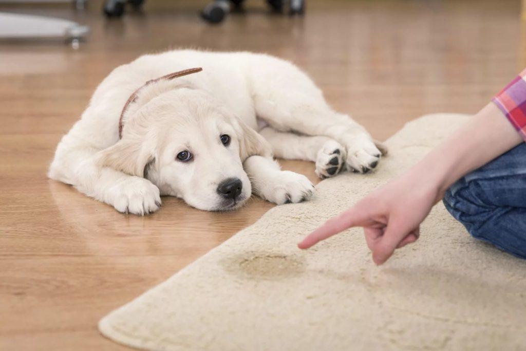 Câine certat de stăpân pentru că a urinat pe covor